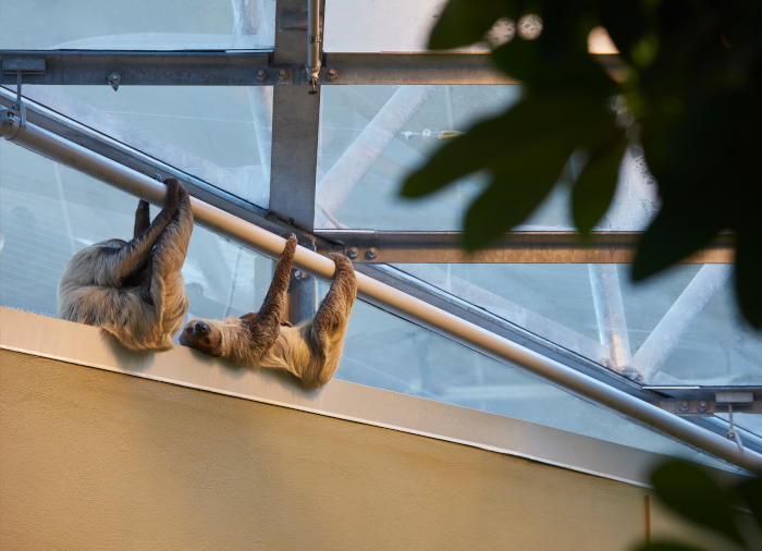 There are 230 animal species held in the Biodome, including sloths