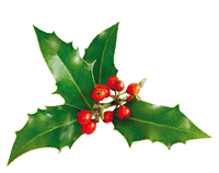 Photo of a sprig of holly