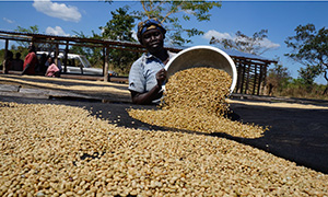 Coffee drying in south Sudan