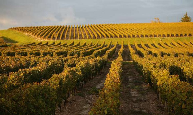 Autumn green and gold in the vineyards of Château Rayne-Vigneau in Sauternes, where the good but very small harvest was very hard won