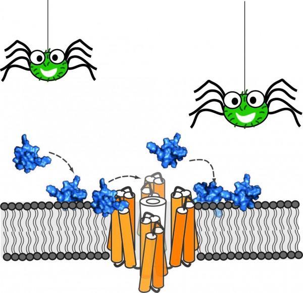 Tarantula toxins converted to painkillers