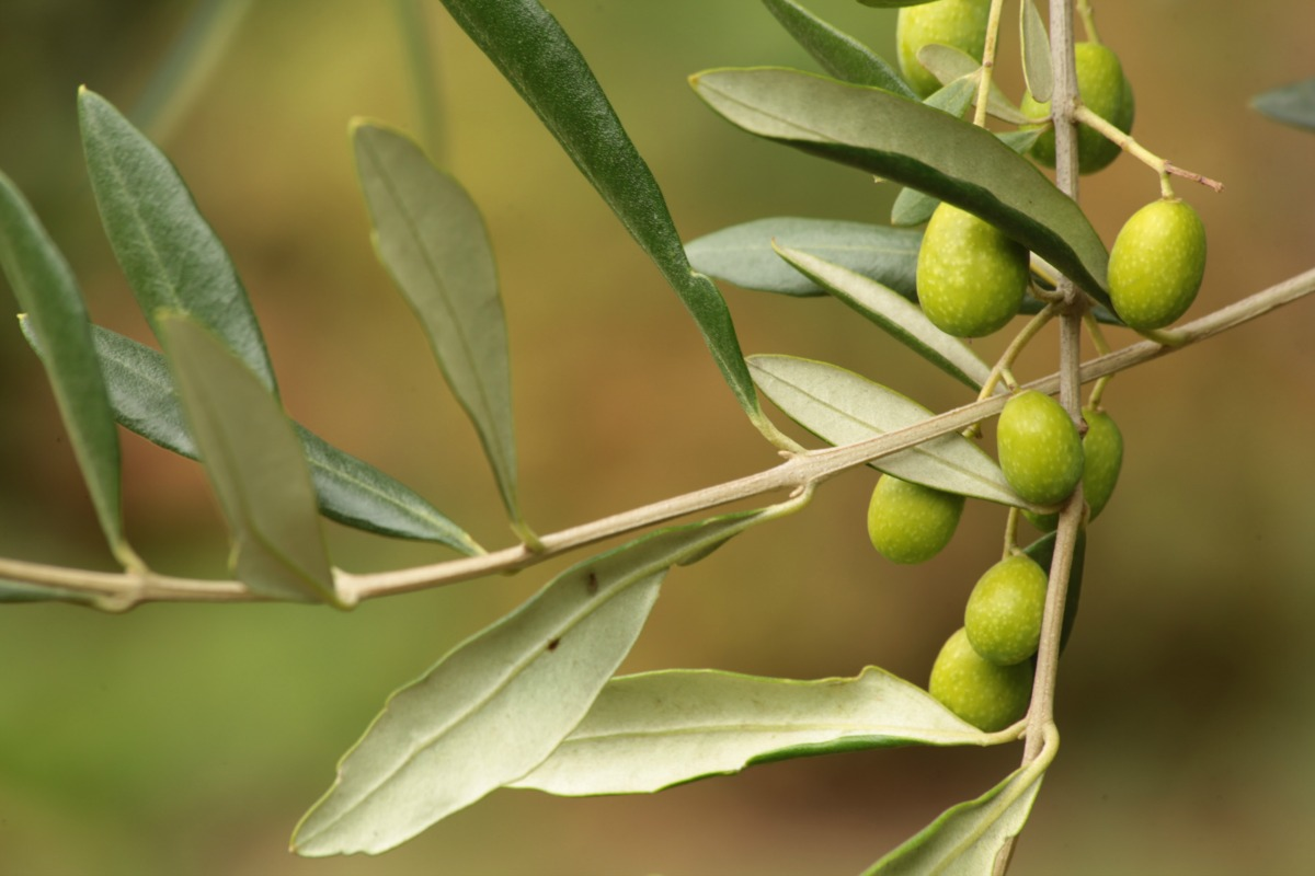 Olives and health
